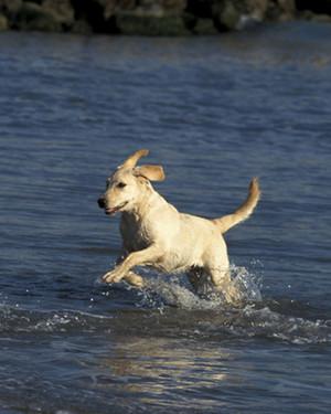 AKC Meet the Breeds: Labrador Retriever