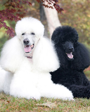 AKC Meet the Breeds: Poodle