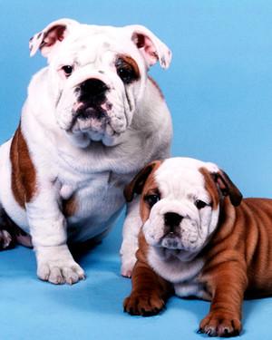 AKC Meet the Breeds: Bulldog