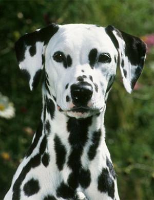 AKC Meet the Breeds: Dalmatian