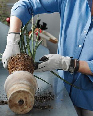 Dividing Pot-Bound Plants
