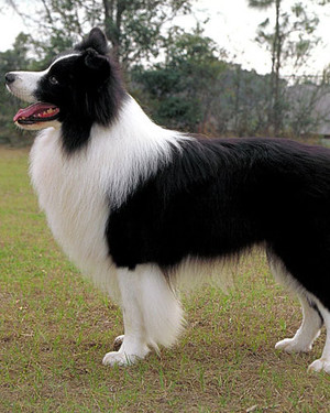 AKC Meet the Breeds: Border Collie