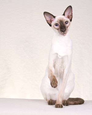 CFA Pedigreed Breed: Siamese