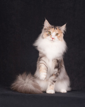 Beloved CFA Pedigreed Breed: Maine Coon