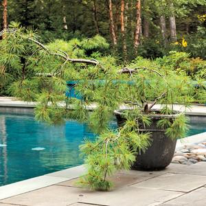 "Pinus Strobus ""Pendula"""