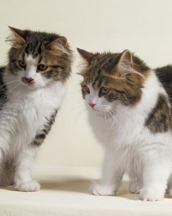 siberian-cats-76679-mld107245.jpg