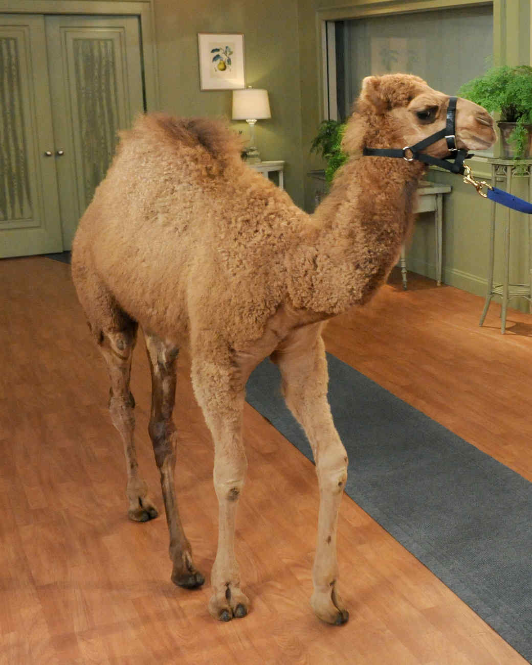 camel-mslb7016.jpg