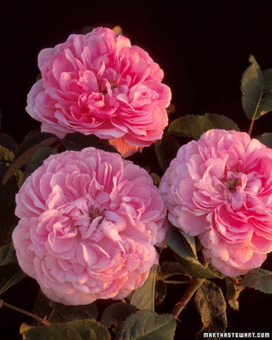 rosa jacques cartier - Fragrant Roses