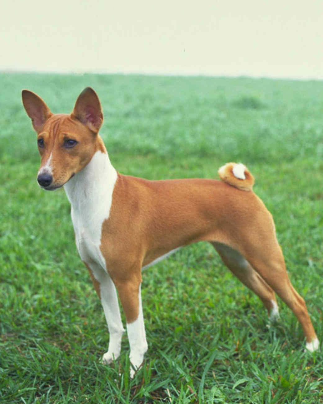 akc_basenji_bloom.jpg