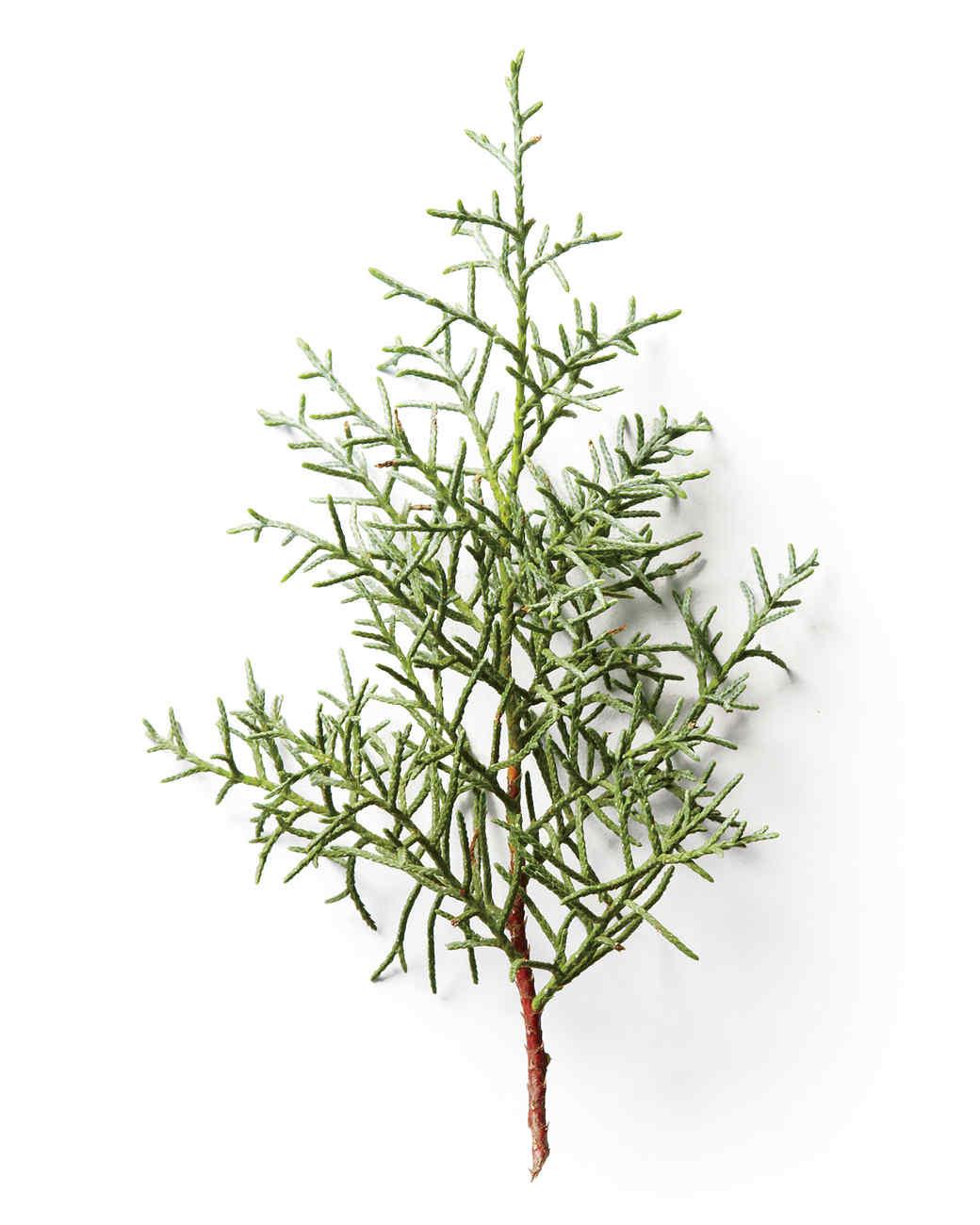 cypress-mld107876.jpg