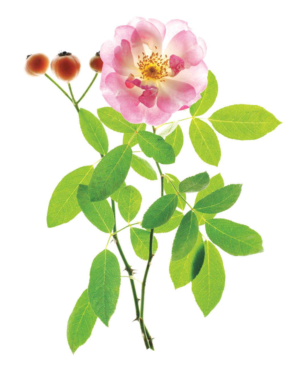 erfurt-rose-ms108508.jpg