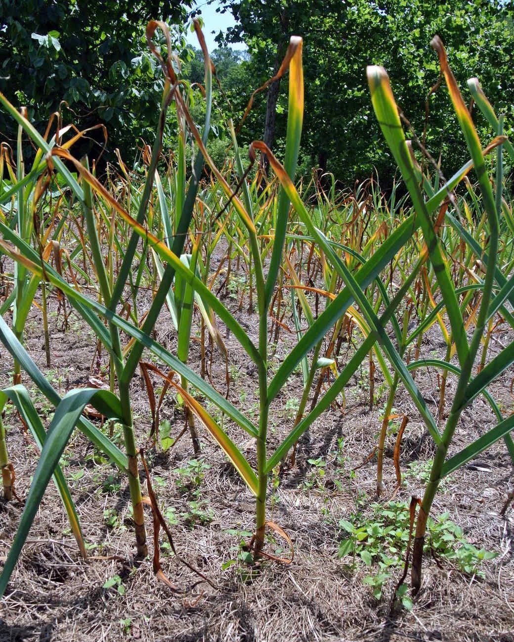 harvesting-garlic-03.jpg