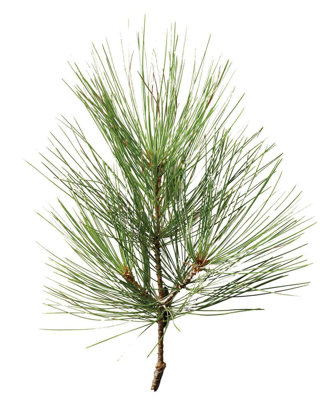white-pine-mld107876.jpg