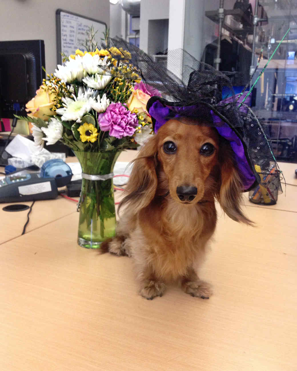 calisi-the-doxie-1014.jpg