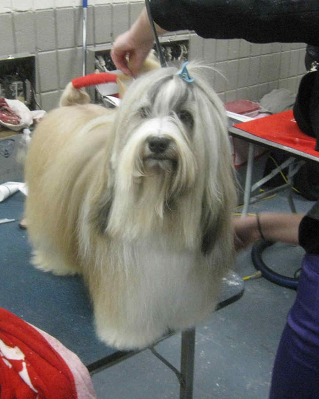 r_0309_bearded_collie.jpg