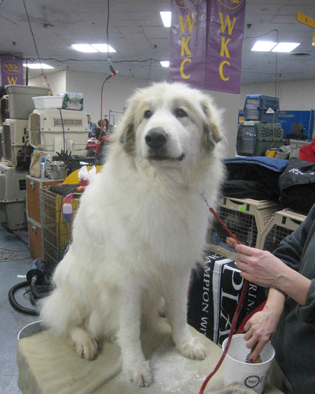 r_0309_great_pyrenees.jpg