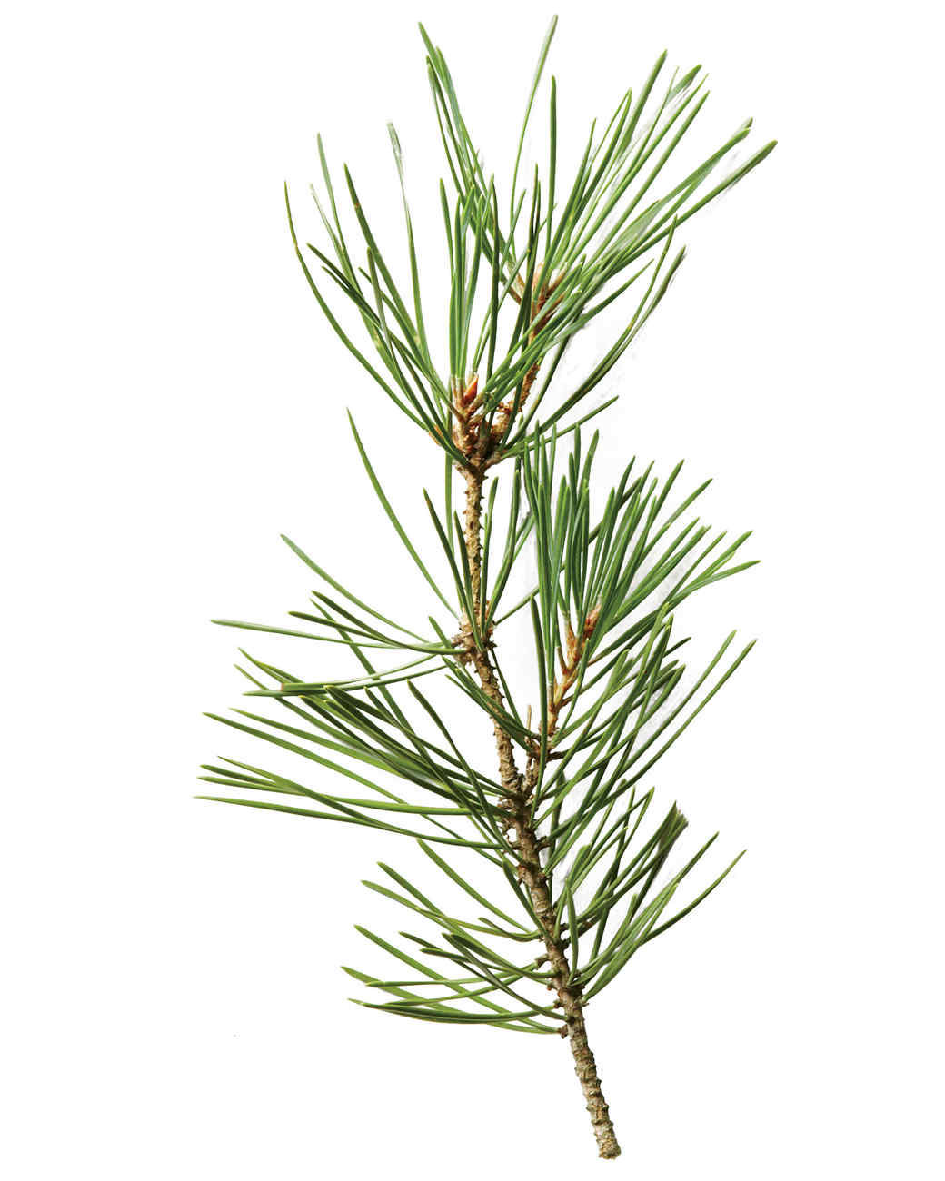 scotch-pine-mld107876.jpg