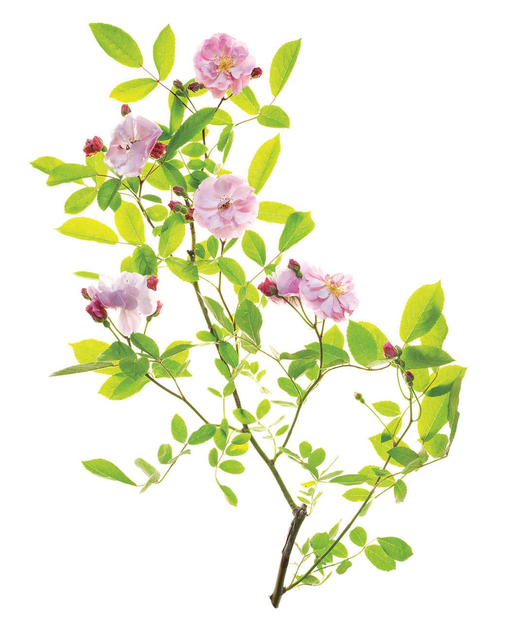 cornelia-rose-ms108508.jpg