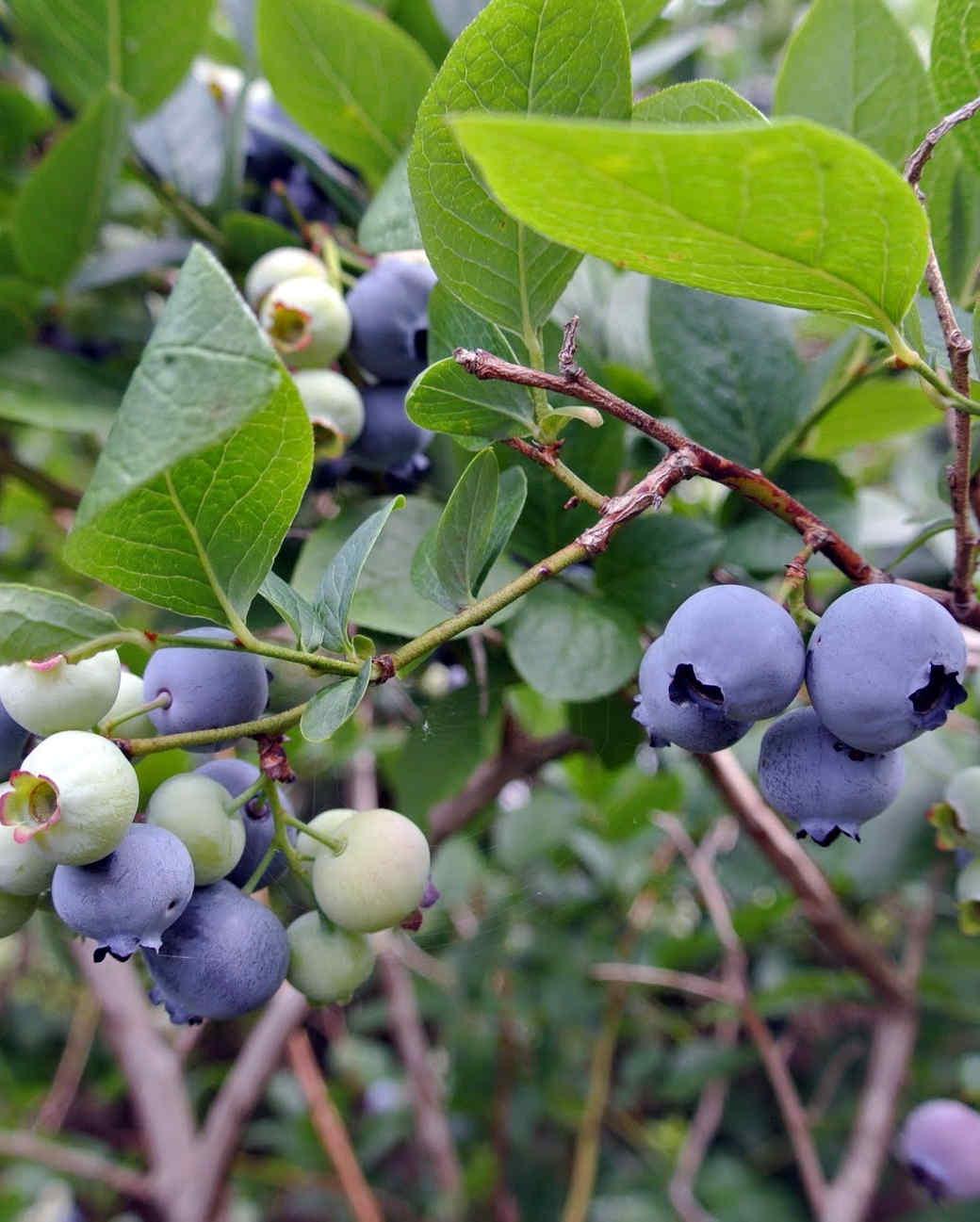 picking-blueberries-01.jpg