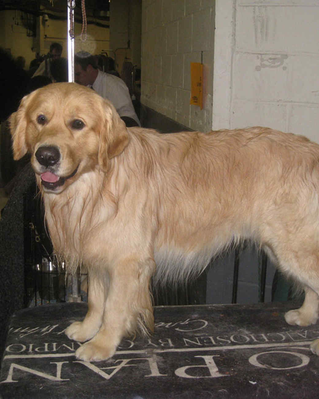 r_0309_golden_retriever.jpg