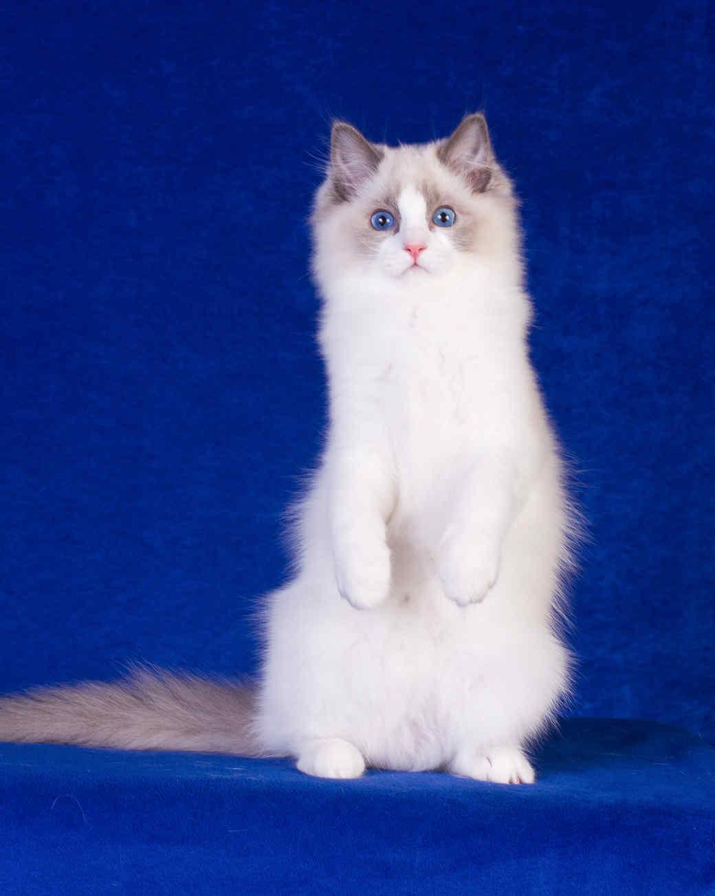 cat-breeds-ragdoll-ic18-955.jpg