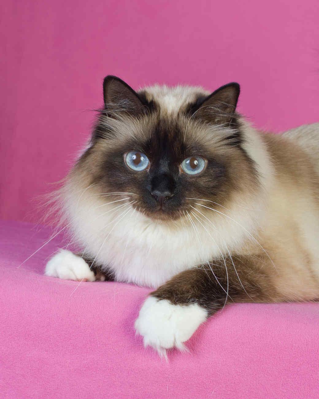 cat-breeds-ragdoll-ic26-019.jpg