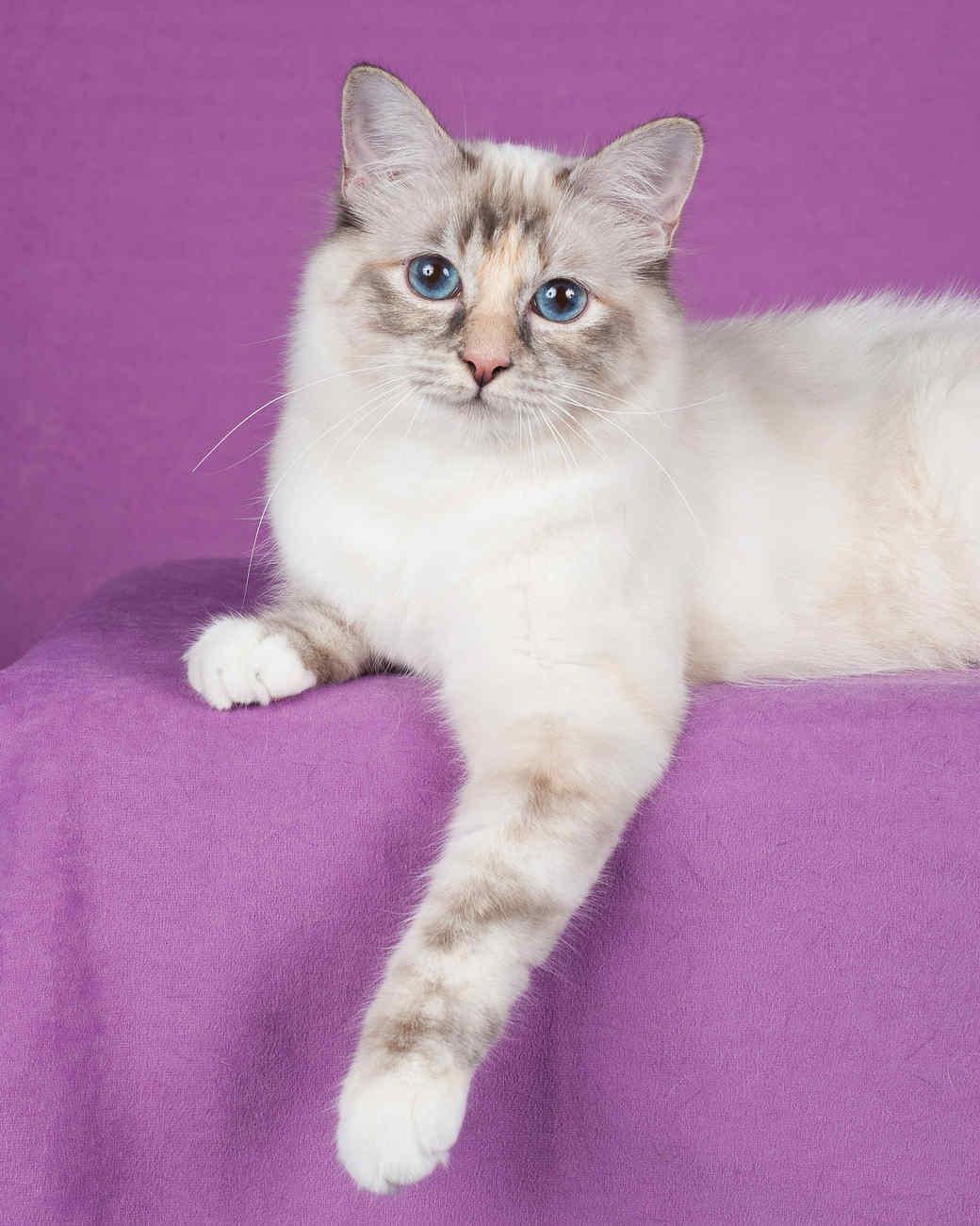 cat-breeds-ragdoll-ig23-280.jpg