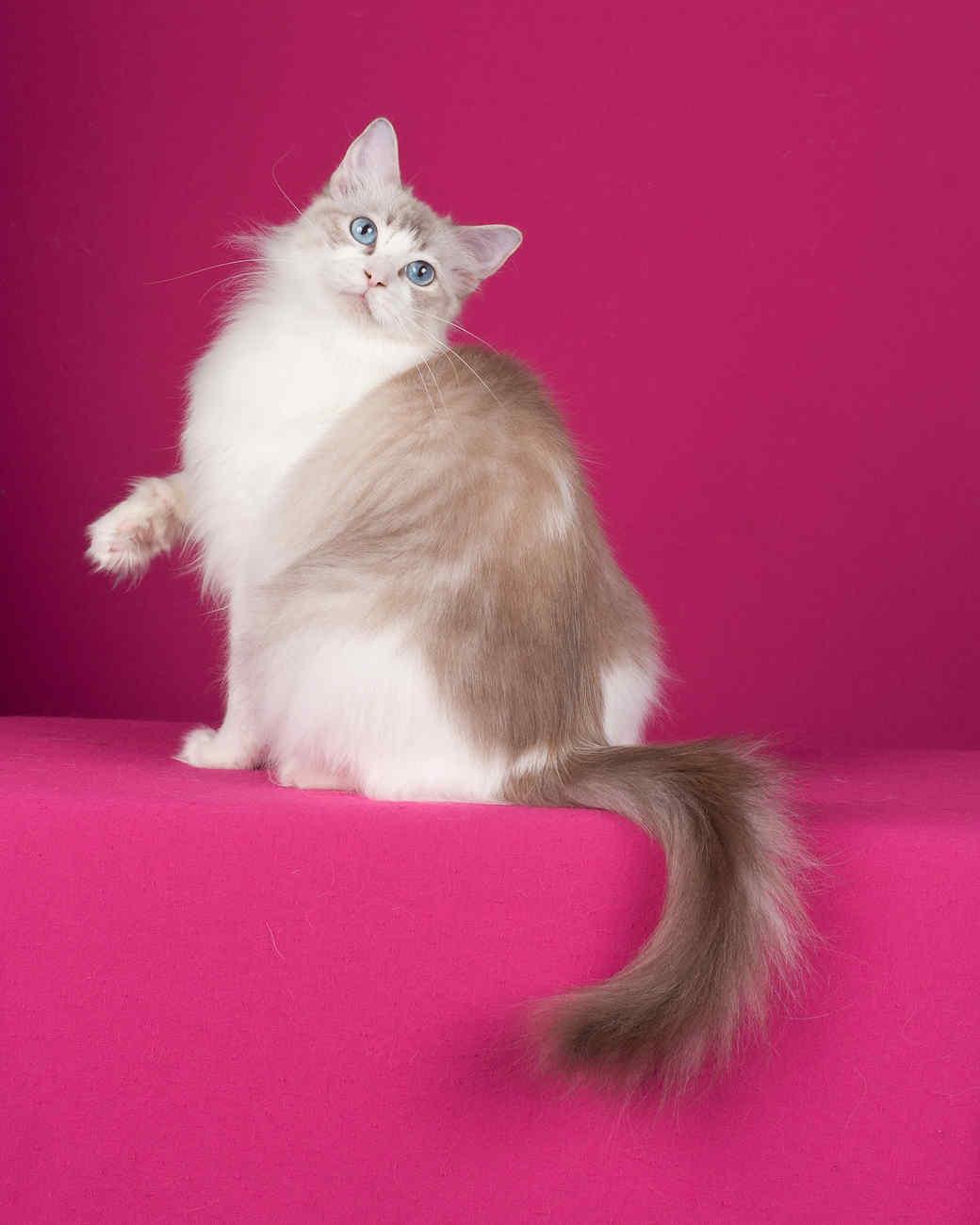 cat-breeds-ragdoll-ih27-435.jpg