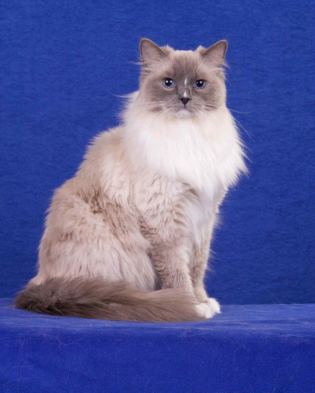 cat-breeds-ragdoll-kc30-652.jpg