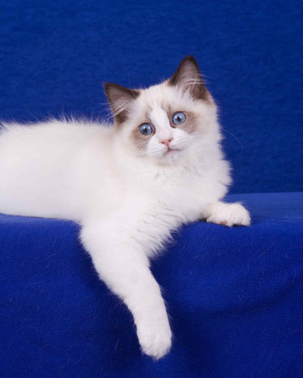 cat-breeds-ragdoll-kf15-315.jpg
