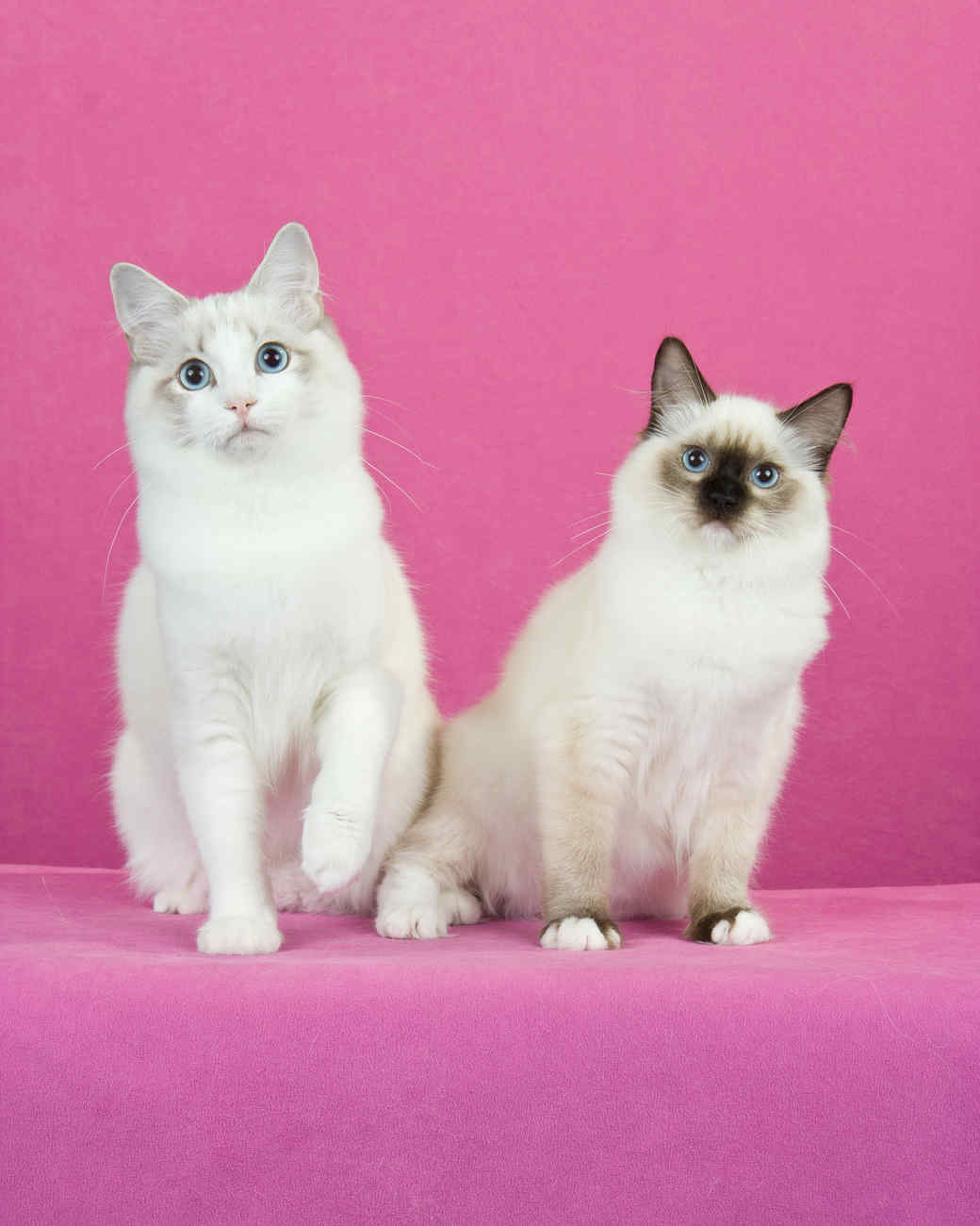 cat-breeds-ragdoll-kg26-872.jpg