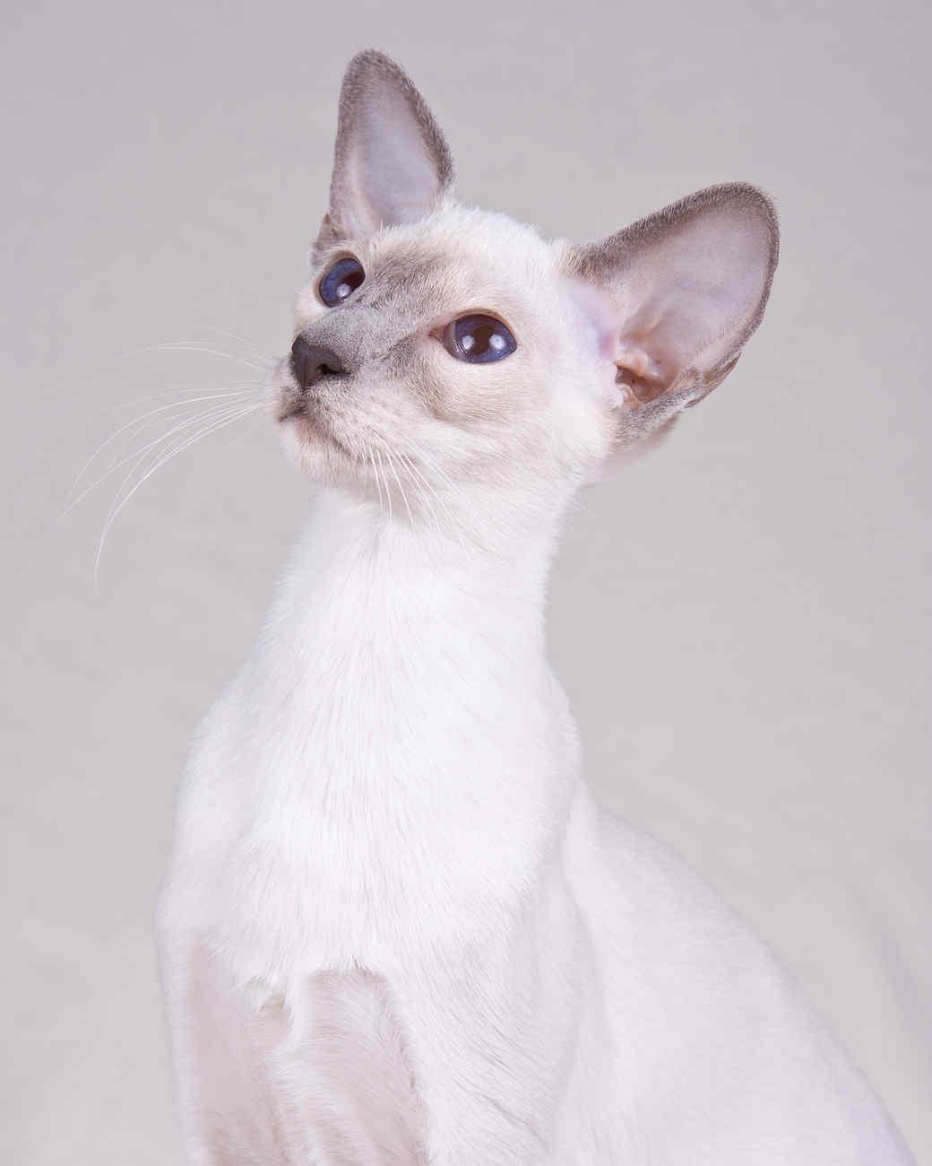 cat-breeds-siamese-ki14-505.jpg