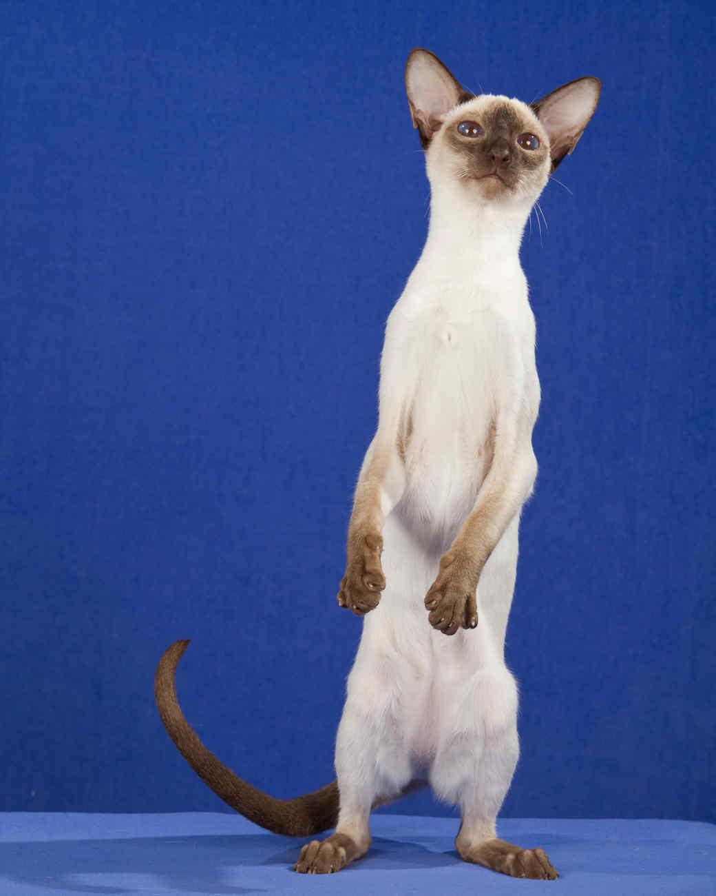 cat-breeds-siamese-mb06-144.jpg