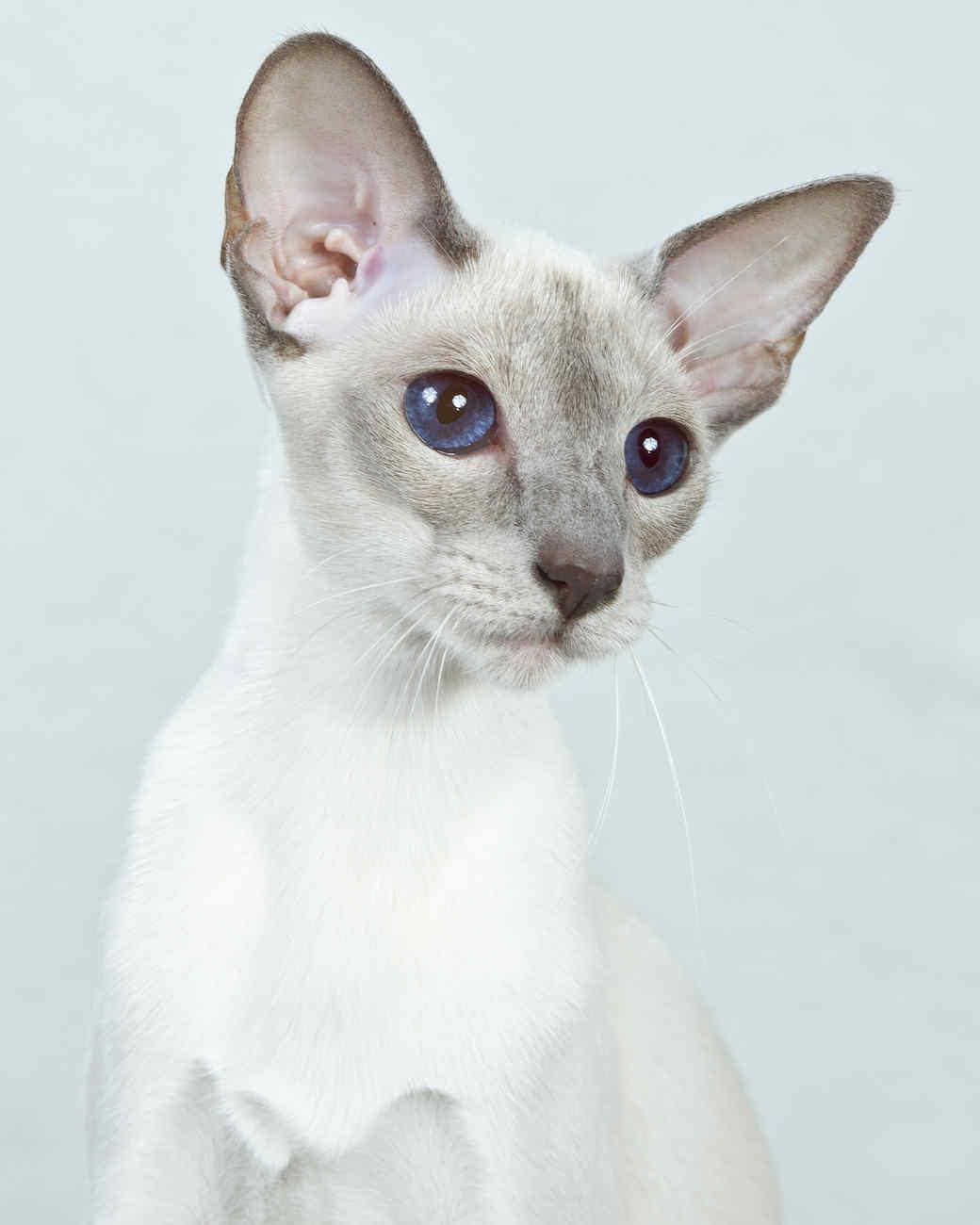 cat-breeds-siamese-mi04-139.jpg