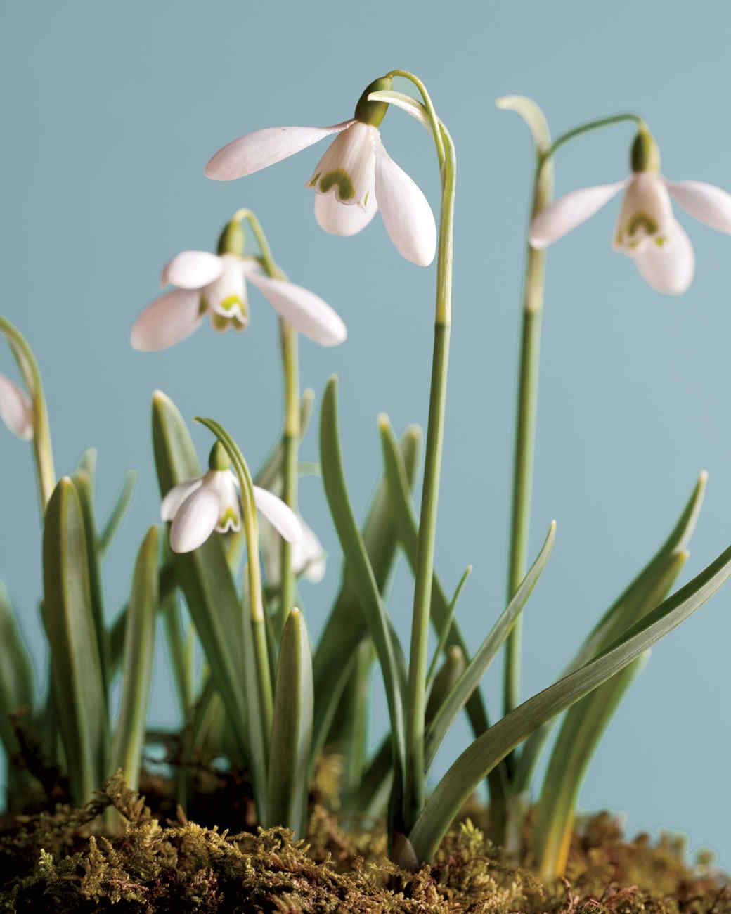 snowdrops-fragrant-mld107313.jpg