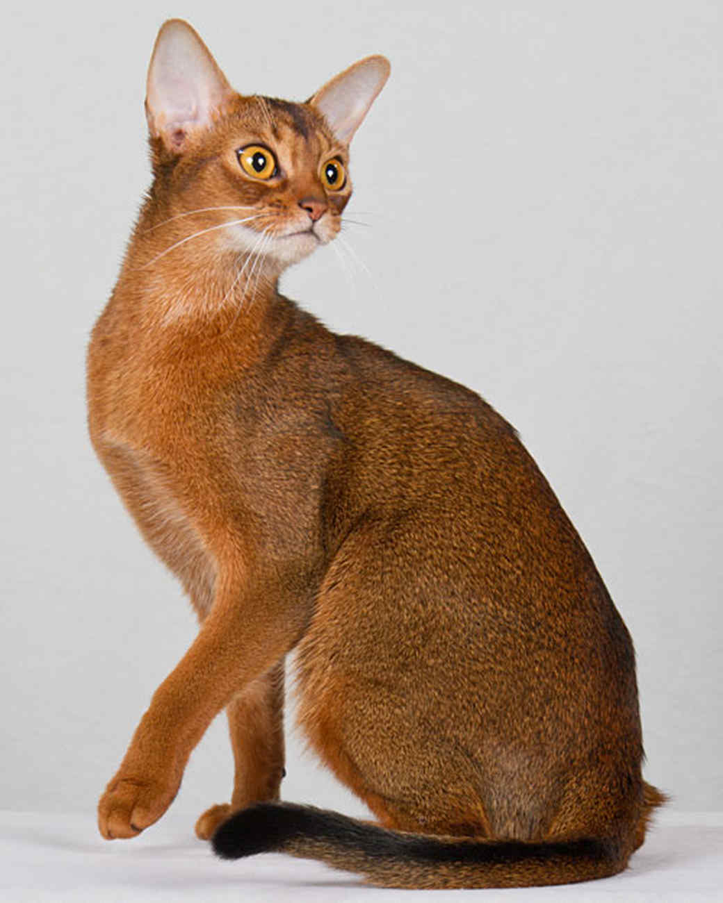 cat-breeds-abysinian-ma16_369.jpg