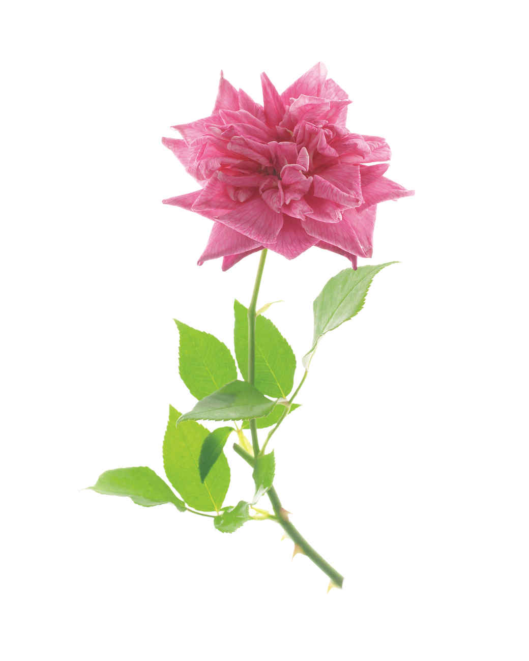 marie-d-orleans-rose-ms108508.jpg