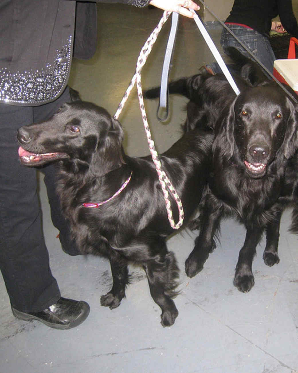 r_0309_flat_coated_retrievers.jpg