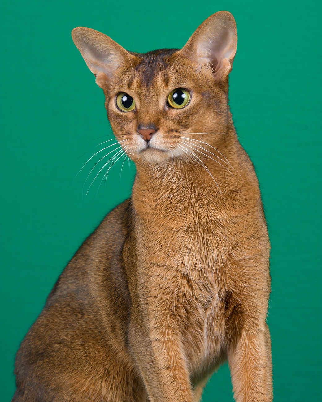 cat-breeds-abyssinian-kc29-421.jpg