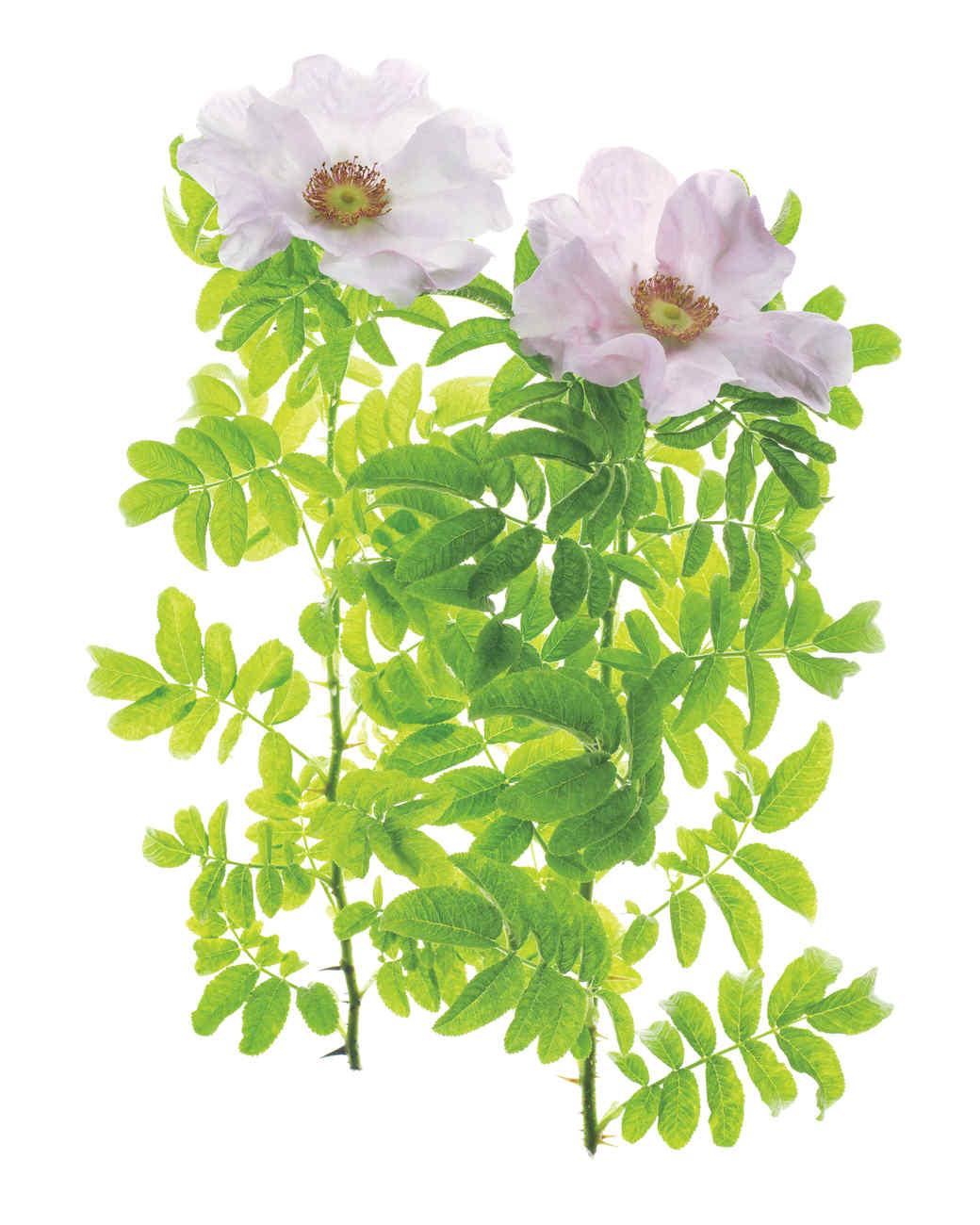 rosa-x-micrugosa-rose-ms108508.jpg