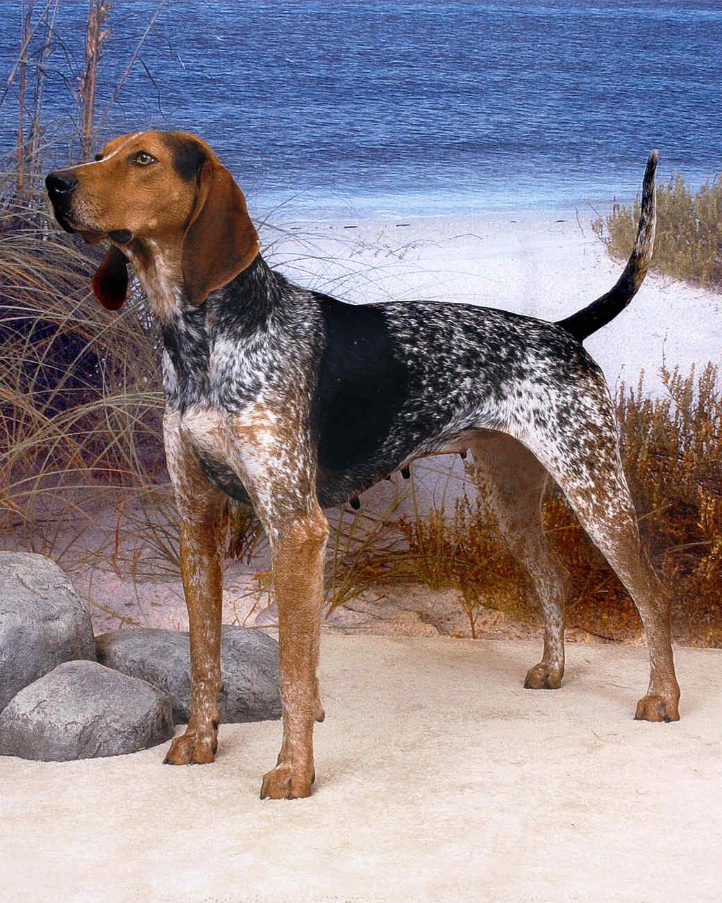 american-english-coonhound-0811.jpg