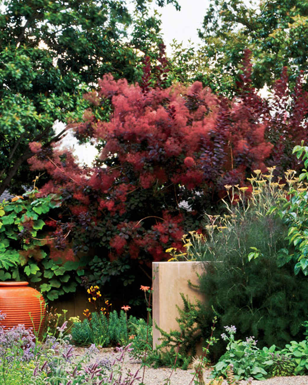 mla10490_0809_purple_smoke_bush.jpg