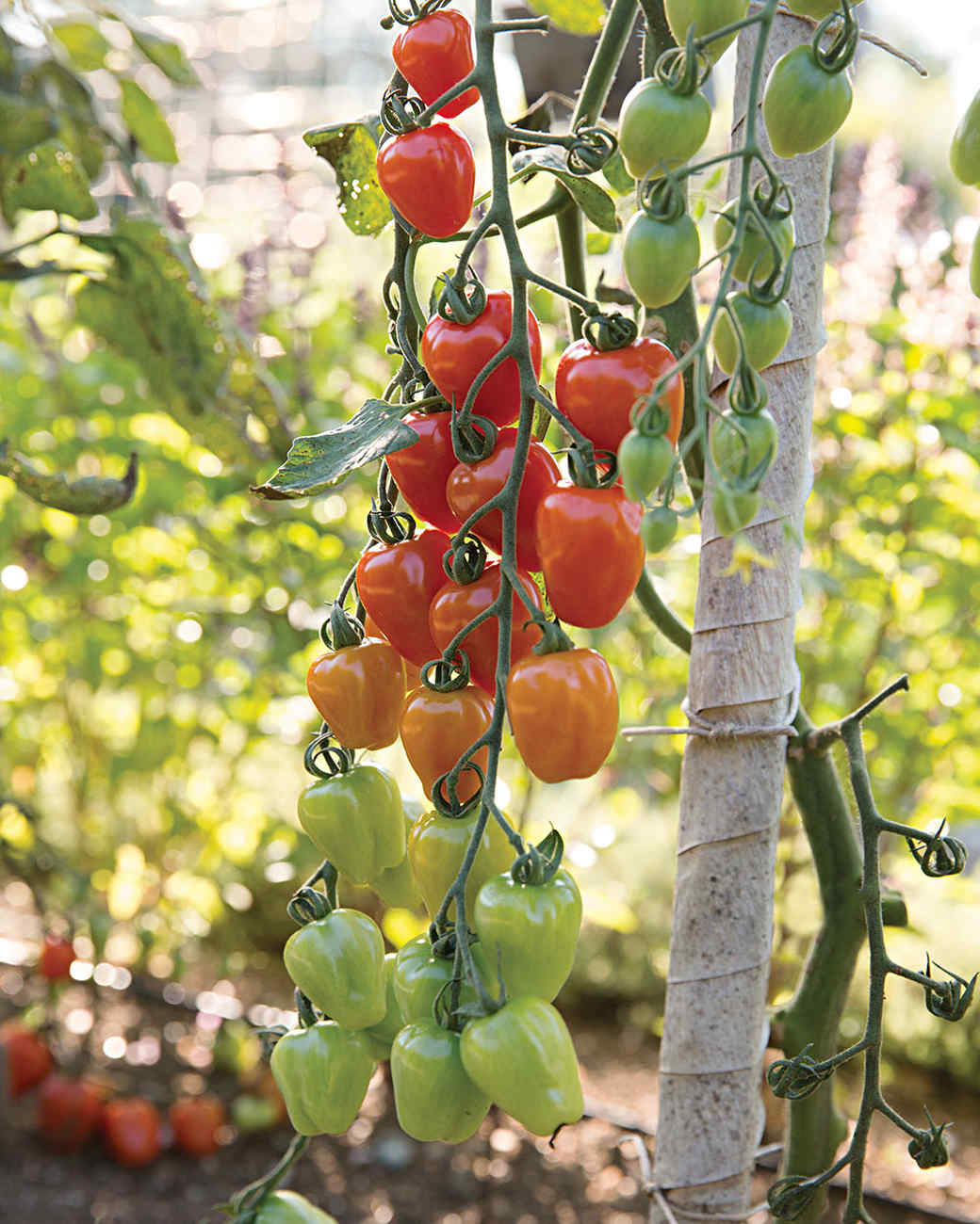 rockefeller-tomatoes-479-d112371.jpg