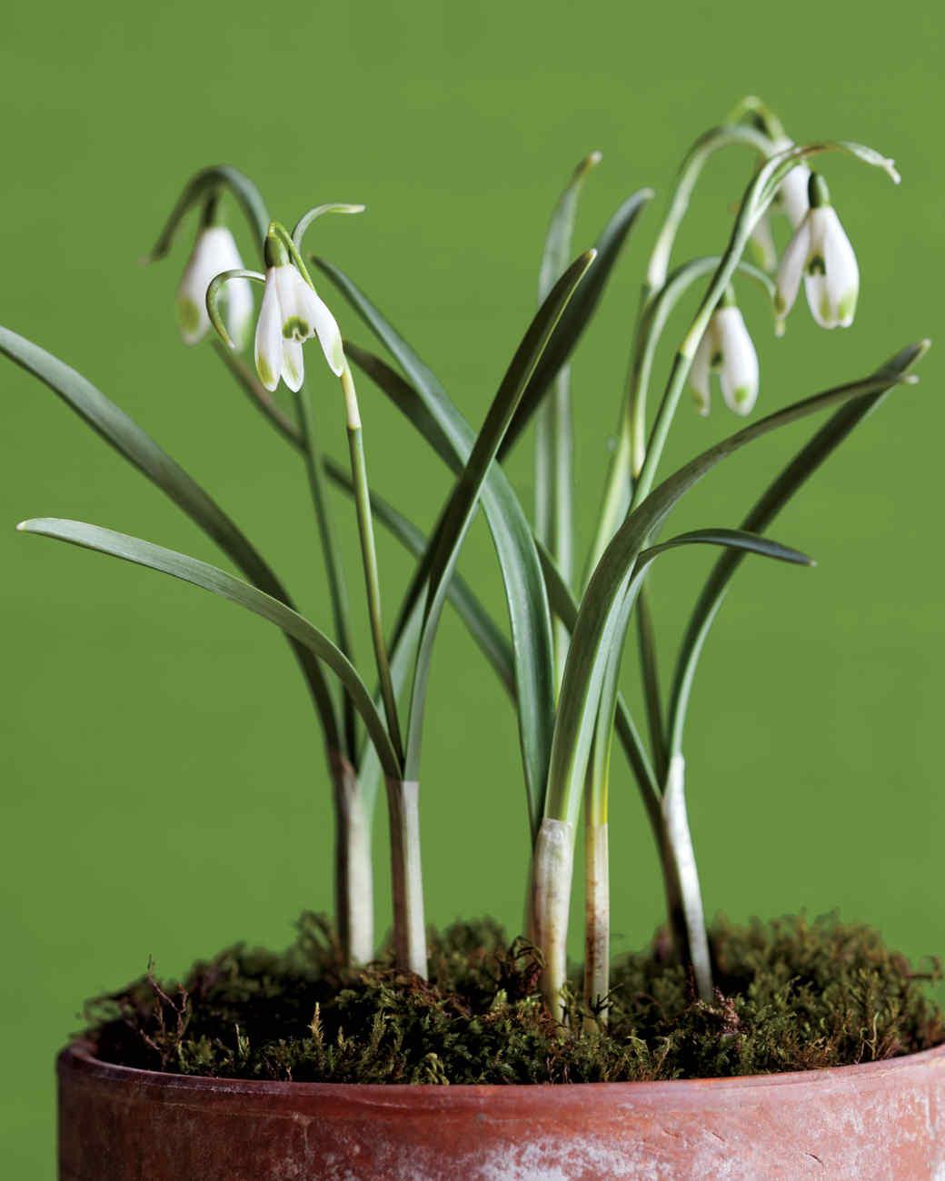 snowdrops-green-tipped-mld107313.jpg
