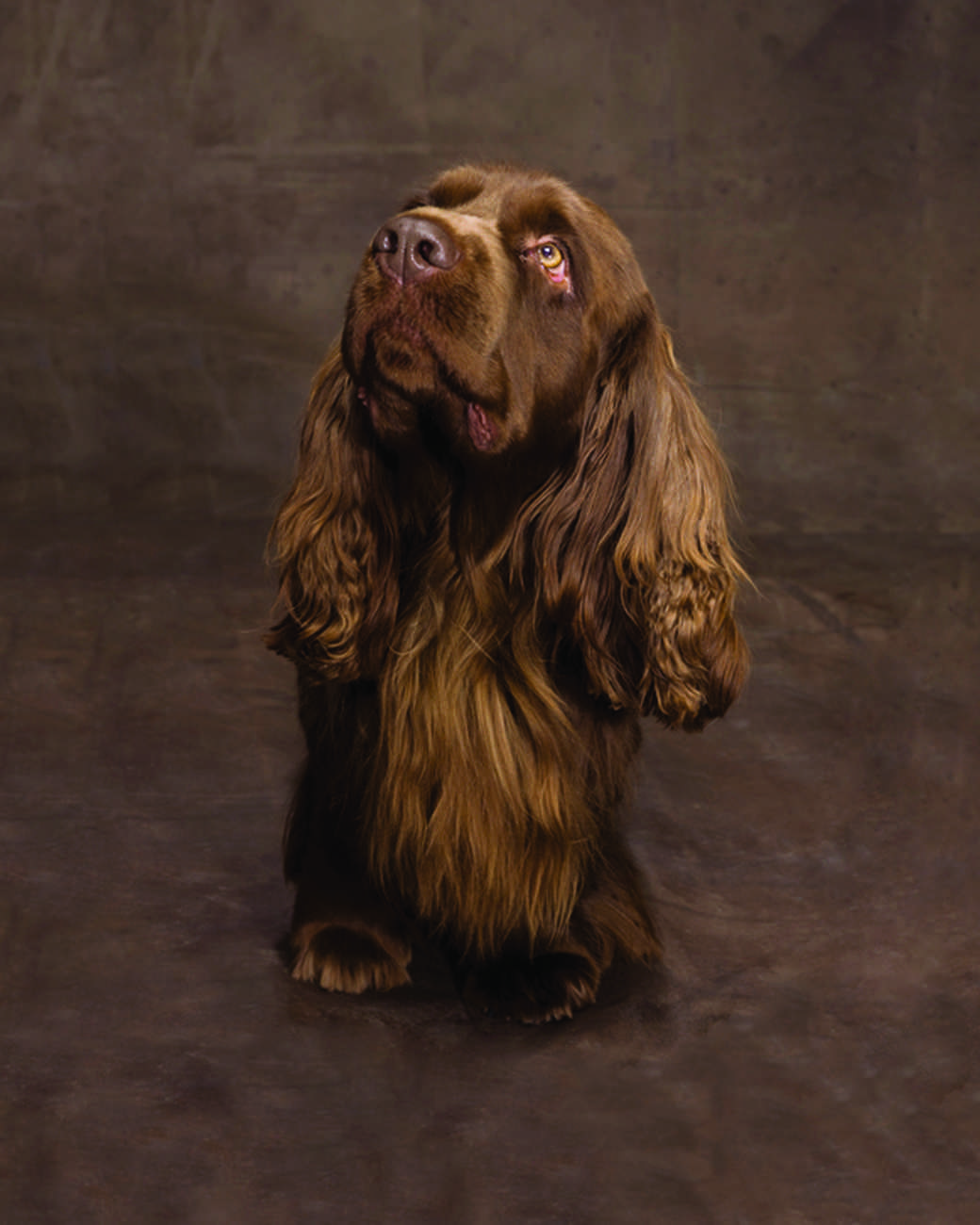 md105724_1110_sussexspaniel_00002.jpg