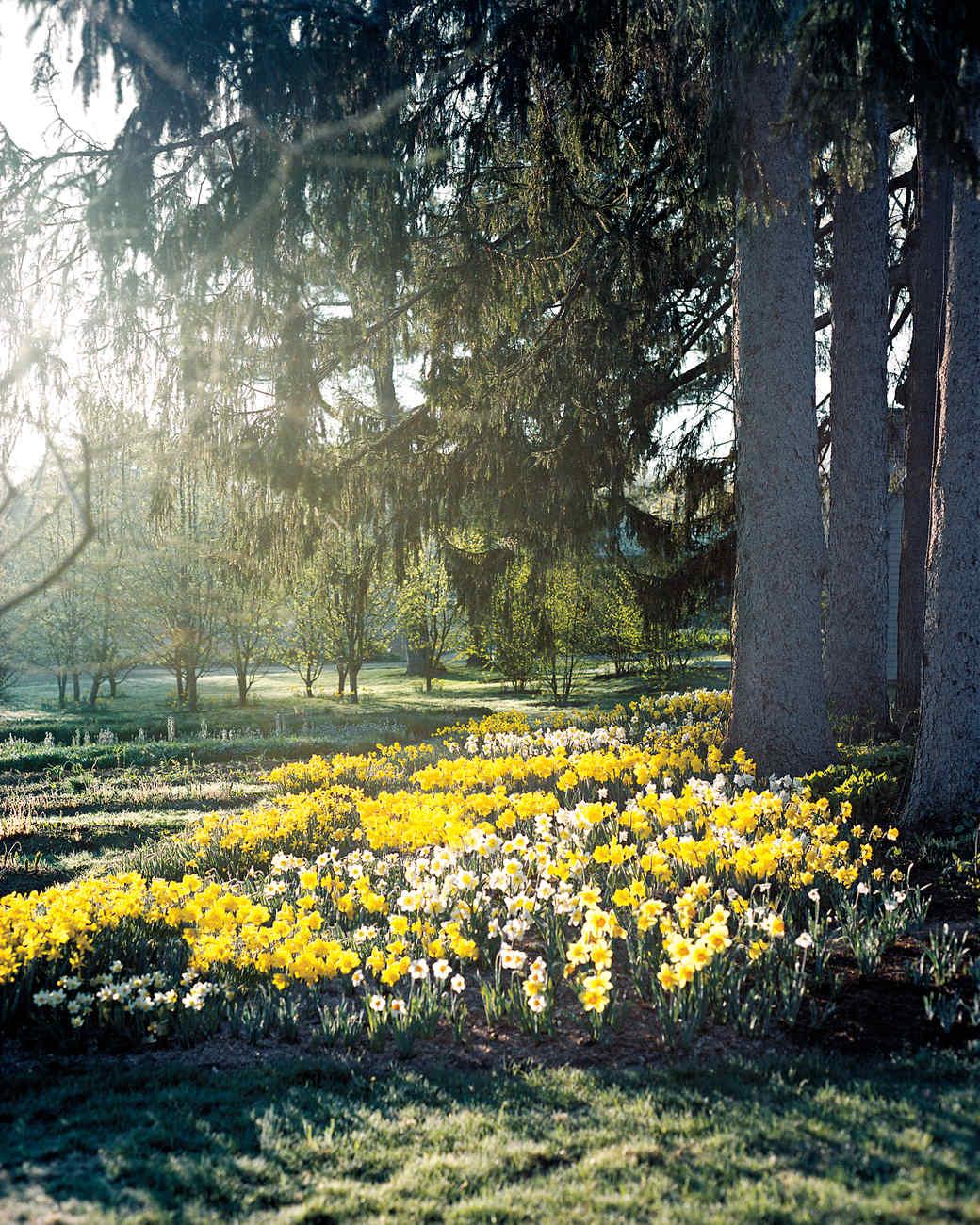 blooming-daffodils-23-4a-2-md110227.jpg