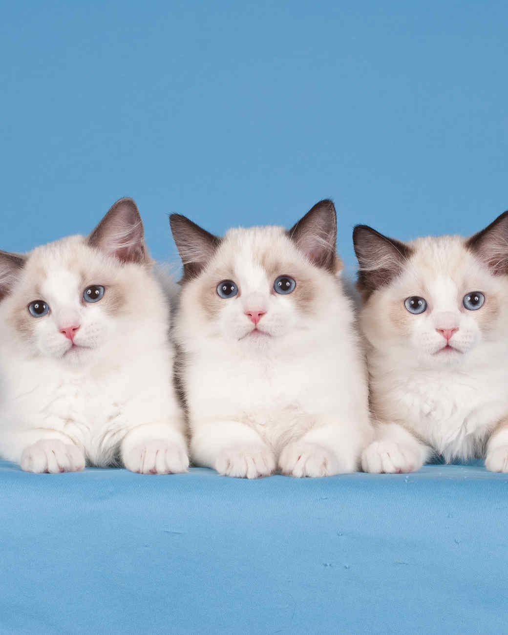 cat-breeds-ragdoll-multiple-ig22-496.jpg