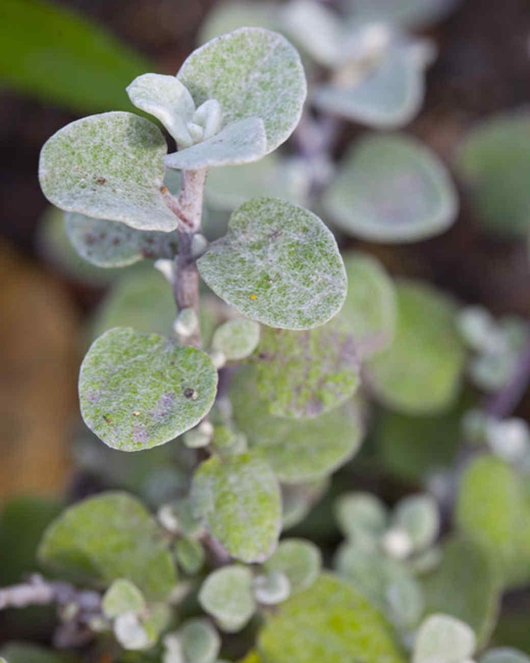 licorice_helichrysum_petiolarum_0269.jpg