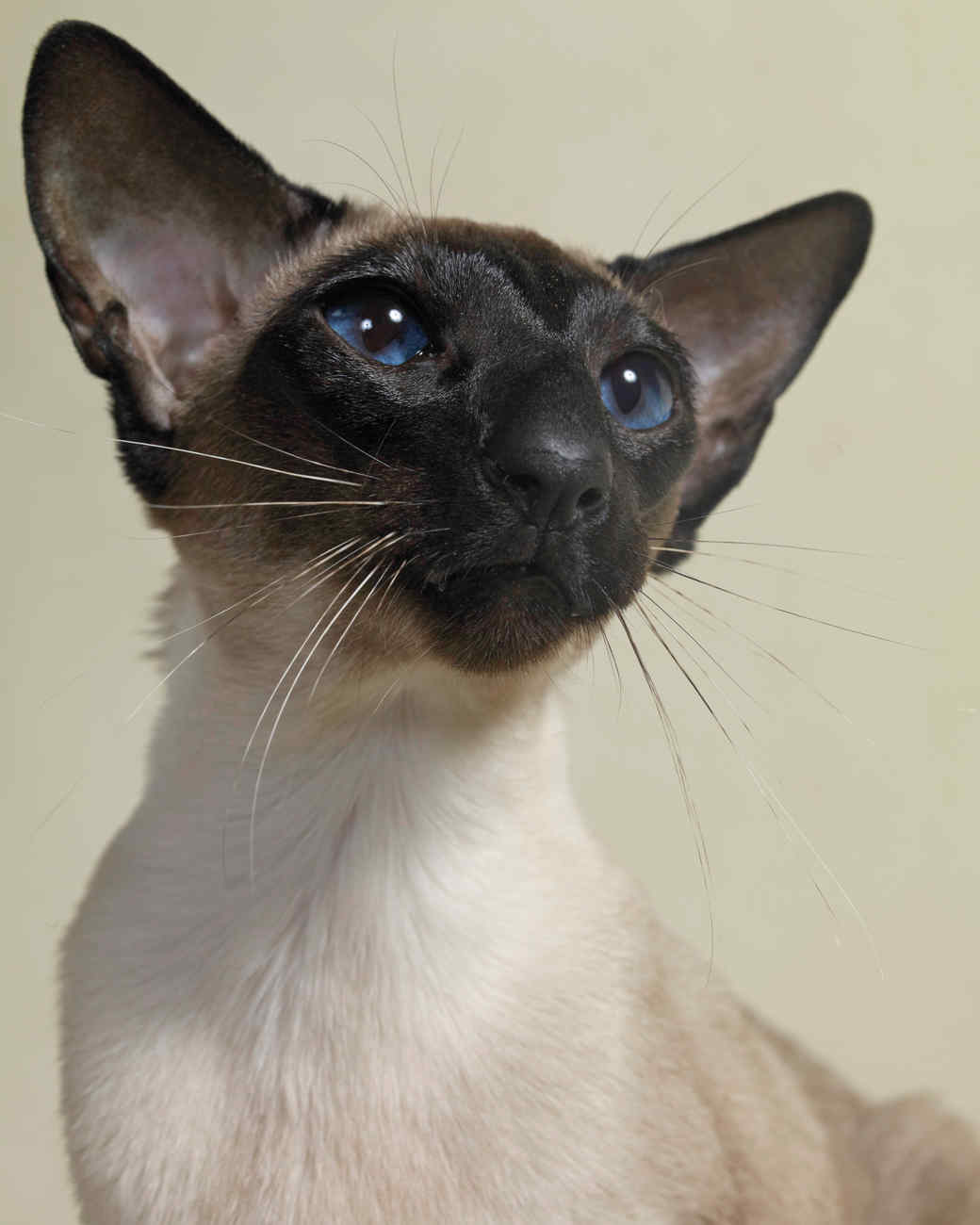 seal-point-siamese-cats-76425-mld107245.jpg