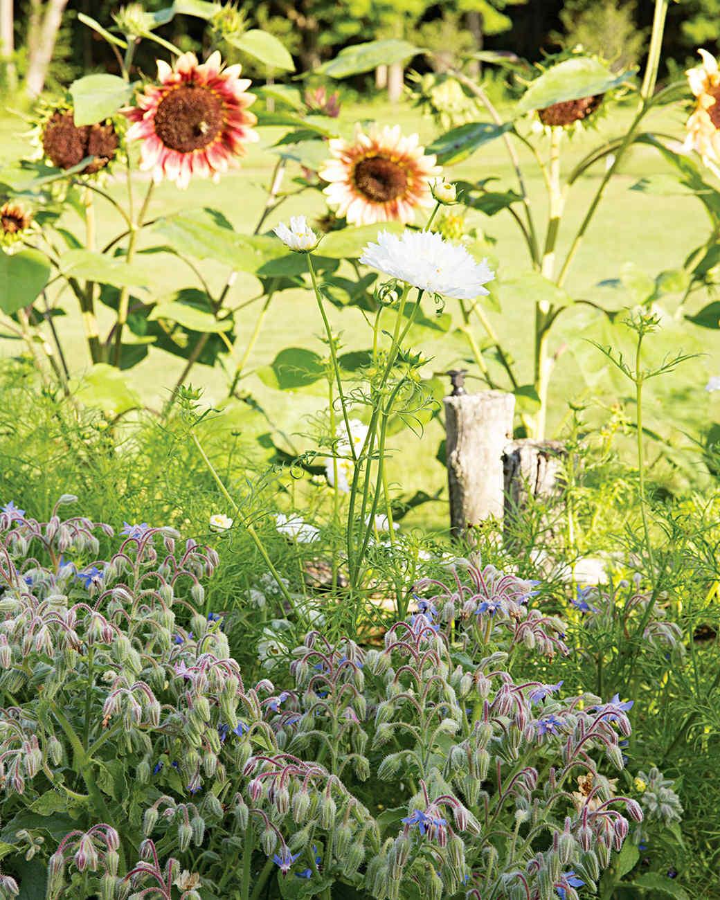 rockefeller-sunflower-borage-452-d112371.jpg